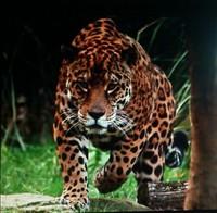 tigresanocio